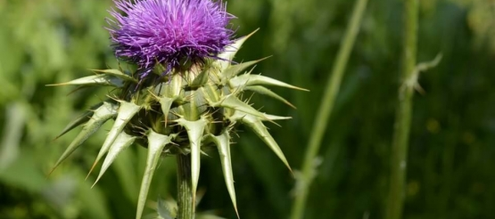5 Benefits That probably did not know the Milk Thistle